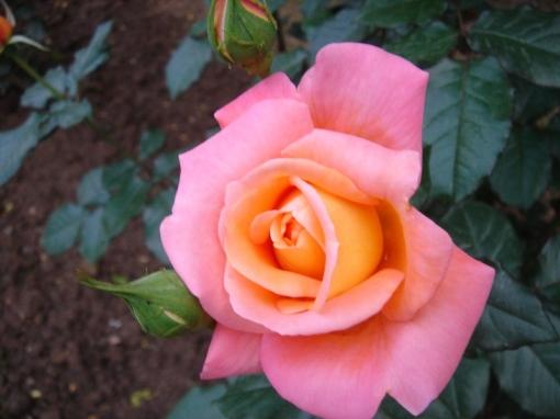 Shahzad Rose