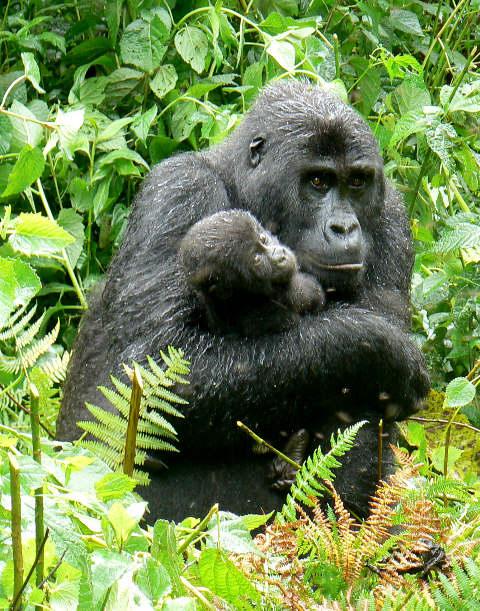 Eastern Lowland Gorillas