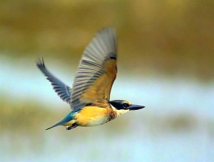 kingfisher-in-flight