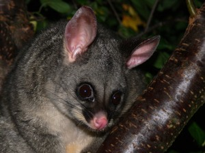 Aren't Possums Beautiful?