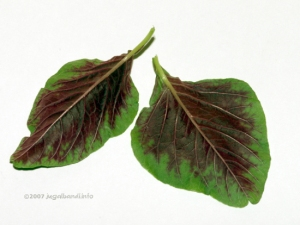 Red Amaranth Leaves