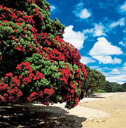Pohutukawa in Bloom on Doubtless Bay
