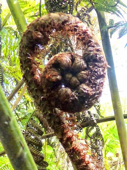 Koru pattern in nature