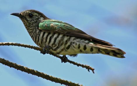 Shining Cuckoo photograph by Duncan Watson, sourced from http://nzbirdsonline.org.nz