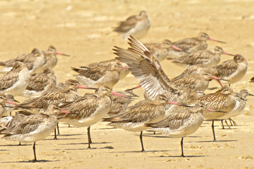 Godwits at Kowhai Bayin the Far North of New Zealand