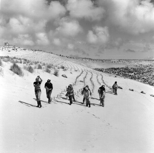 Men and women plant marram grass at Te Kao on the Aupōuri Peninsula in 1973. This was an early stage in stabilising these active dunes, which were later planted in radiata pine.